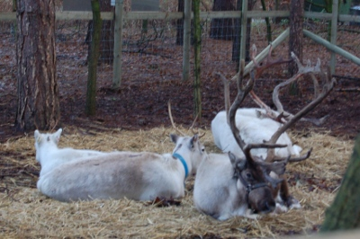 Santa's Reindeer at Center Parcs Sherwood Forest
